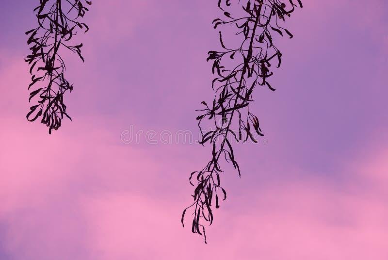 Een minimaal silhouet seedpods in rustig van dageraad royalty-vrije stock fotografie