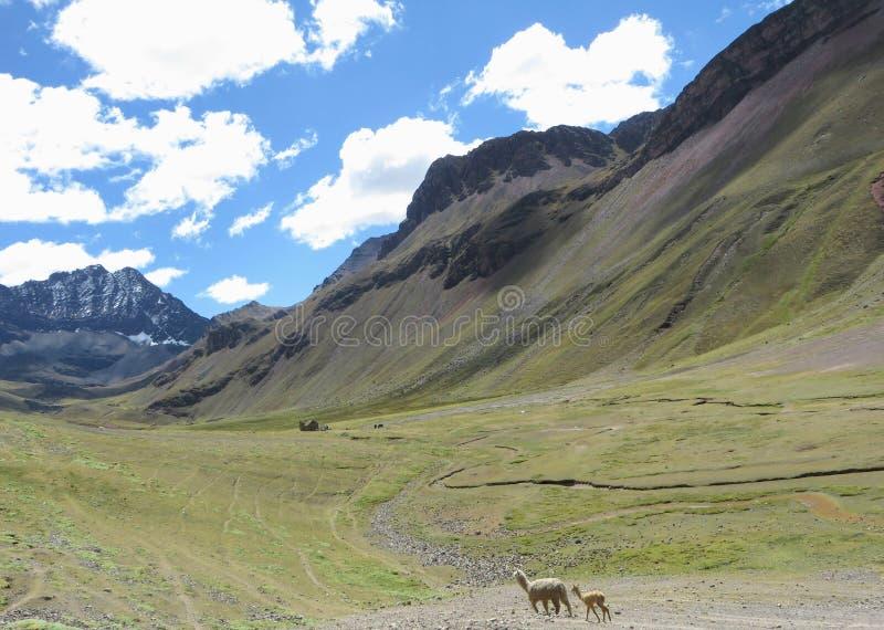 Een moeder en babylama die samen alleen door de Andes lopen stock afbeeldingen