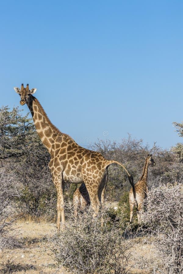 Een moedergiraf Giraffa Camelopardalis met een baby, het Nationale Park van Etosha, Namibië royalty-vrije stock afbeelding