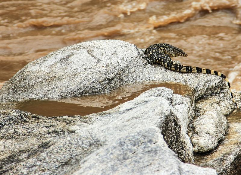 Een monitorhagedis op een rots dichtbij modderige bruine waterstroom royalty-vrije stock foto