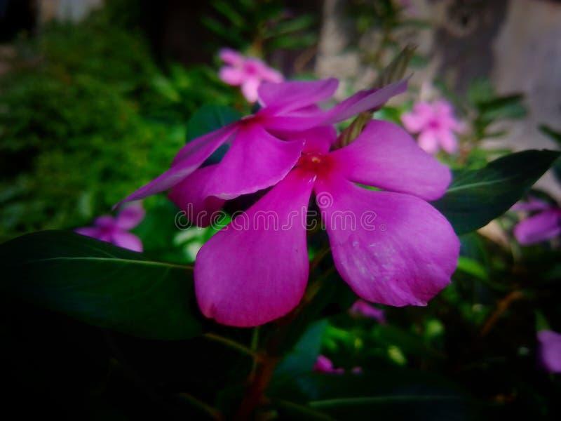 Een mooi beeld van tuin Vinca royalty-vrije stock afbeelding