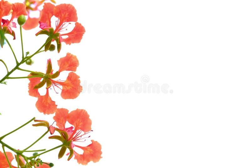Een mooi boeket van de oranje bloesem van de pauwbloem met takken op wit isoleerde achtergrond stock foto's