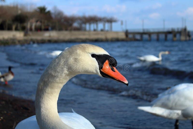 Een mooi close-up van een witte zwaan royalty-vrije stock fotografie