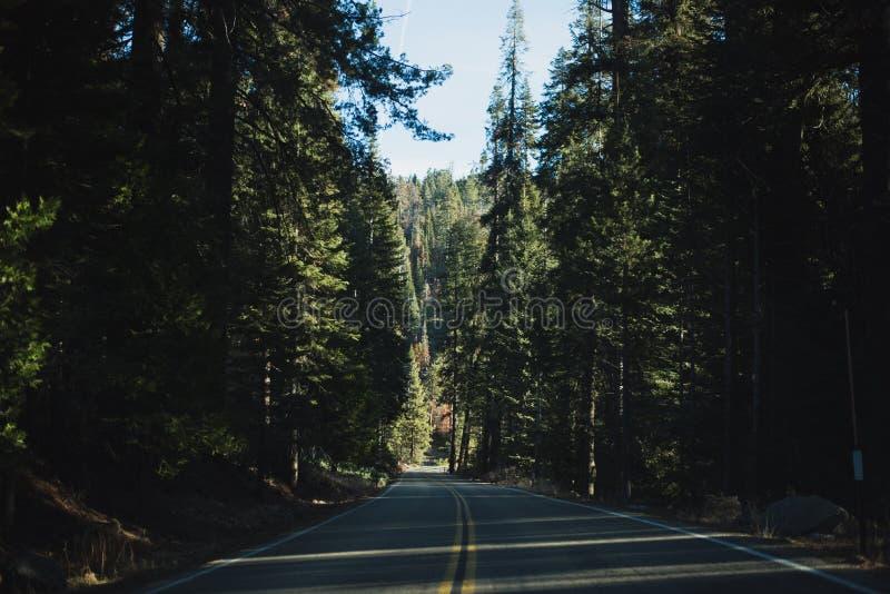 Een mooi die bos met de grootste bomen in de wereld wordt bevolkt royalty-vrije stock fotografie