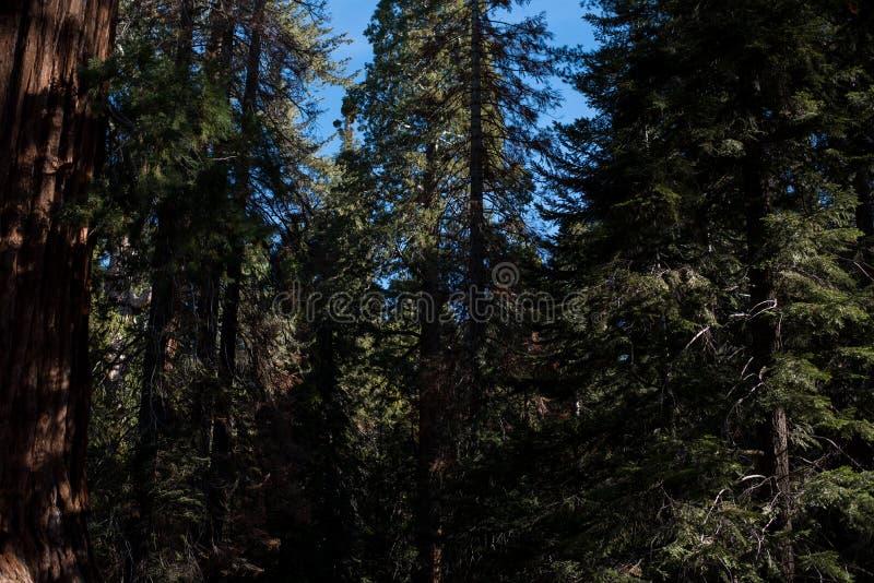 Een mooi die bos met de grootste bomen in de wereld wordt bevolkt royalty-vrije stock afbeeldingen