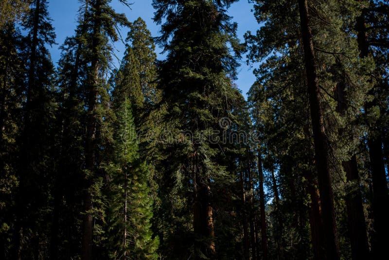 Een mooi die bos met de grootste bomen in de wereld wordt bevolkt stock fotografie