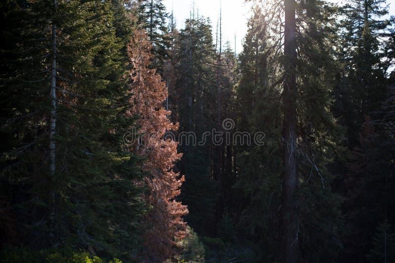 Een mooi die bos met de grootste bomen in de wereld wordt bevolkt royalty-vrije stock foto's