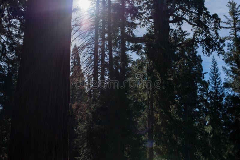 Een mooi die bos met de grootste bomen in de wereld wordt bevolkt stock afbeeldingen