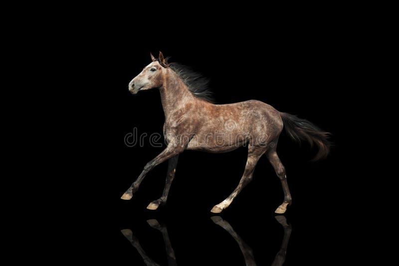 Een mooi grijs paard die isolatet op zwarte bsckground galopperen stock foto's