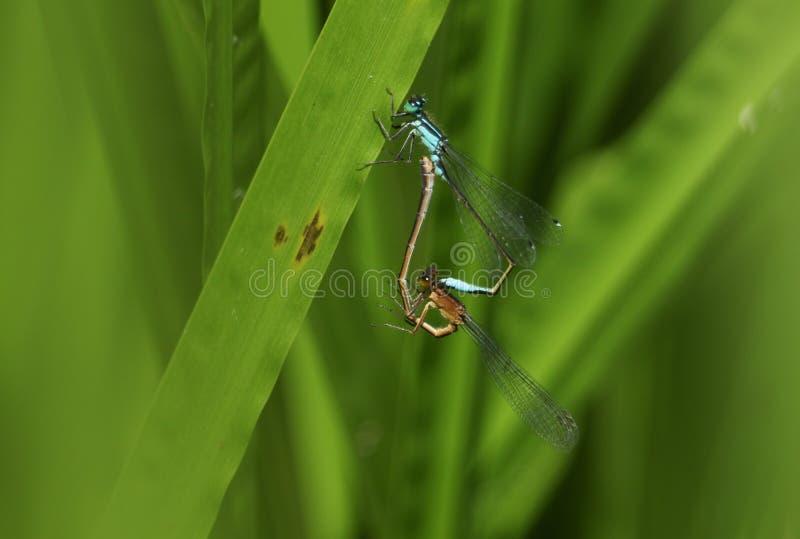 Een mooi het koppelen paar van blauw-De steel verwijderde van Damselfly, Ischnura die elegans, op een riet bij de rand van een me stock foto