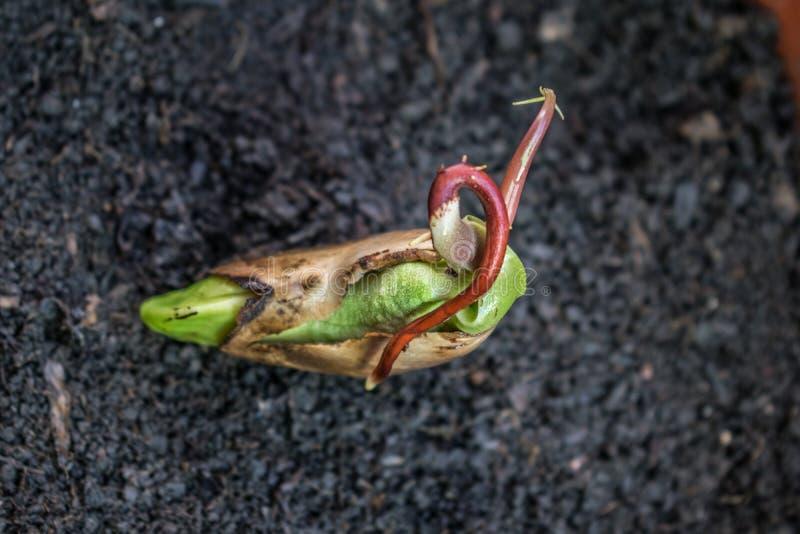 Een mooi mangozaad in het stadium waar het kan worden geplant Het mangozaad is klaar voor het planten stock afbeelding