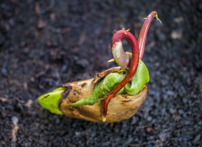 Een mooi mangozaad in het stadium waar het kan worden geplant Het mangozaad is klaar voor het planten stock afbeeldingen