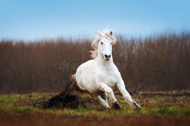 Een mooi wit paard die op een geploegd gebied op een achtergrond van blauwe hemel galopperen stock afbeeldingen