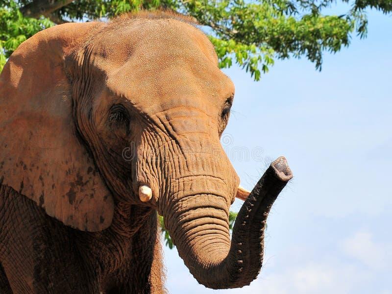Een mooie Afrikaanse Olifant stock fotografie