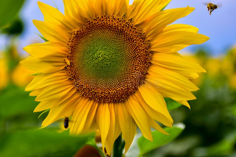 Een mooie bloem van een zonnebloem groeit op een gebied royalty-vrije stock afbeeldingen