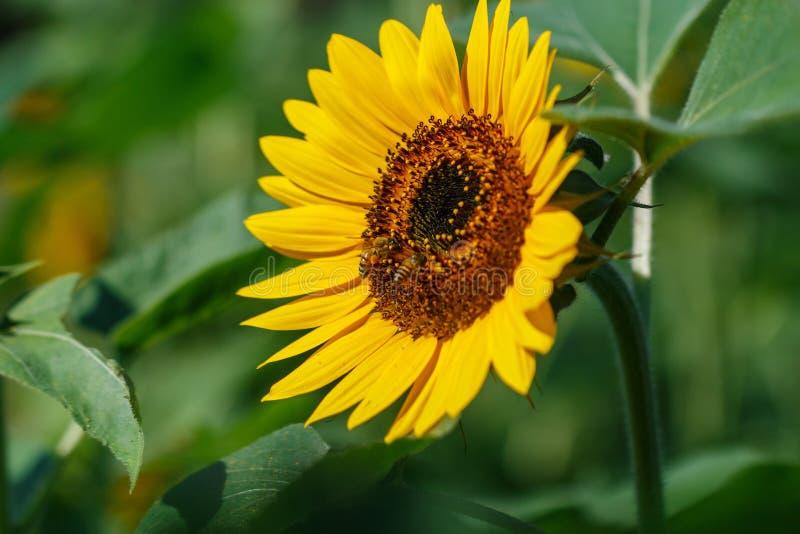 Een mooie bloem, Zonnebloemen, bloem, achtergronden royalty-vrije stock afbeelding