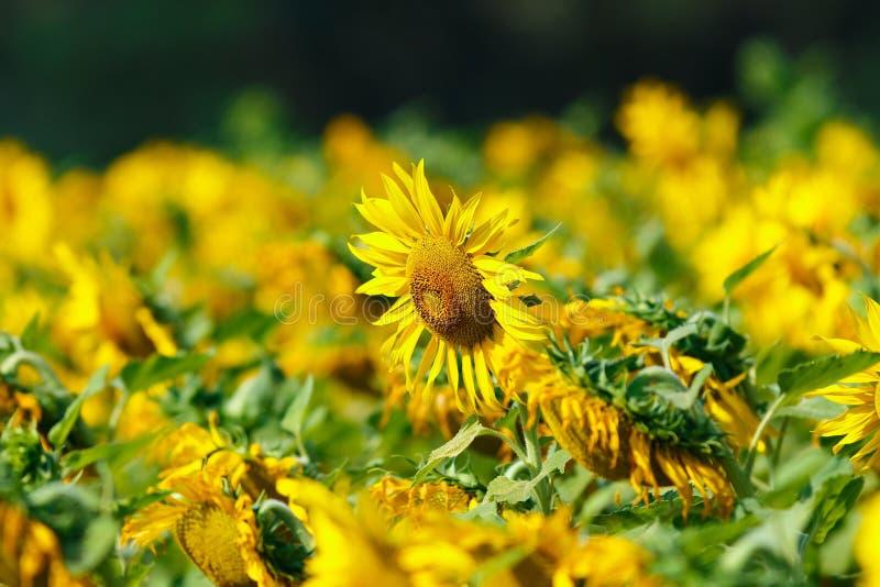 Een mooie bloem, Zonnebloemen, bloem, achtergronden royalty-vrije stock foto