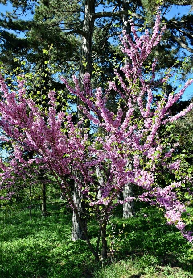 Een mooie boom kwam in de tuin, de lente tot bloei stock afbeelding