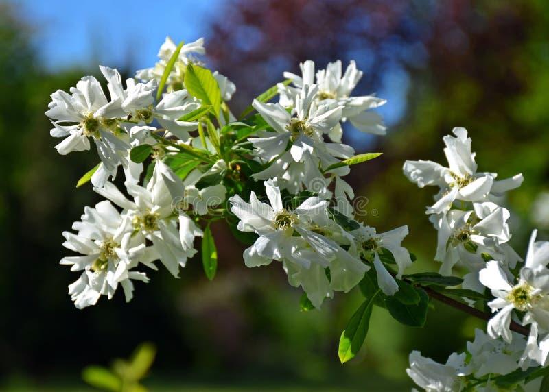 Een mooie boom kwam in de tuin, de lente tot bloei stock fotografie