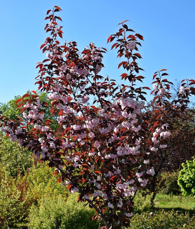 Een mooie boom kwam in de tuin, de lente tot bloei stock foto's