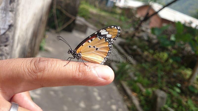 Een mooie botervlieg bij mijn hand stock afbeeldingen
