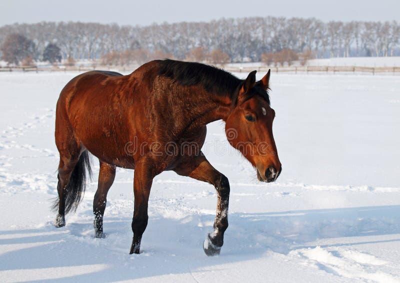 Een mooie bruine merrie op sneeuwgebied stock foto's