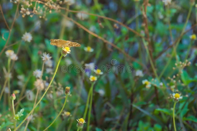 Een mooie bruine, oranje en zwarte Thaise vlinder boven op een overweldigende groep uiterst kleine witte en gele bloemen, in een  stock afbeelding