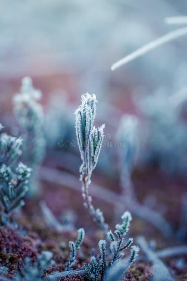 Een mooie close-up van een moerasrozemarijn met ijskristallen De kleine installatie van het moerasland in een koele ochtend in de stock fotografie