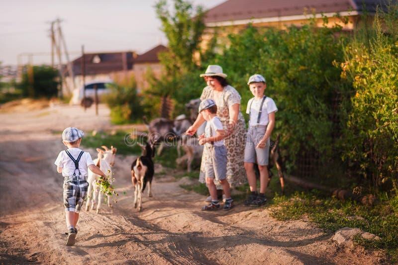 Een mooie de zomerfoto van het familie` s tijdverdrijf De grootmoeder en de kleinkinderen weiden geiten bij zonsondergang Babes i royalty-vrije stock fotografie