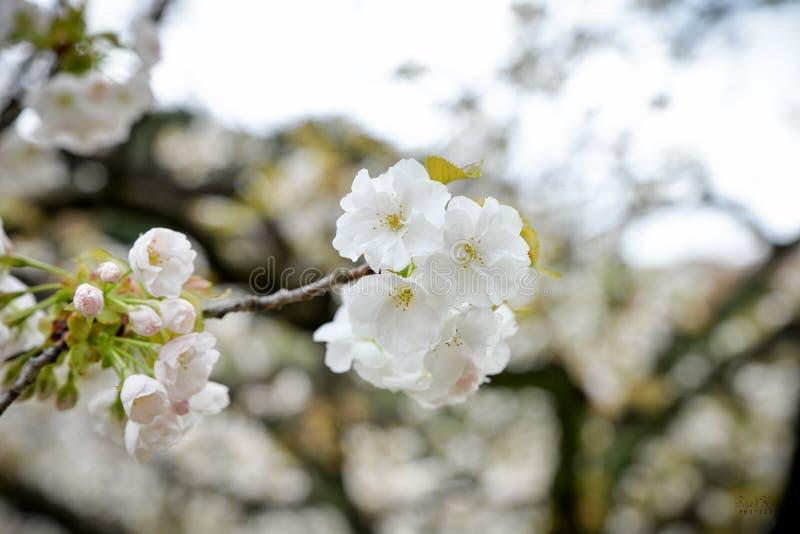Een mooie die tak van kersenbloesem in natuurlijk licht wordt gevangen royalty-vrije stock foto's