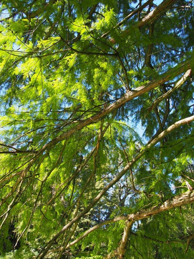 Een mooie distichum van Taxodium van de moerascipres stock fotografie