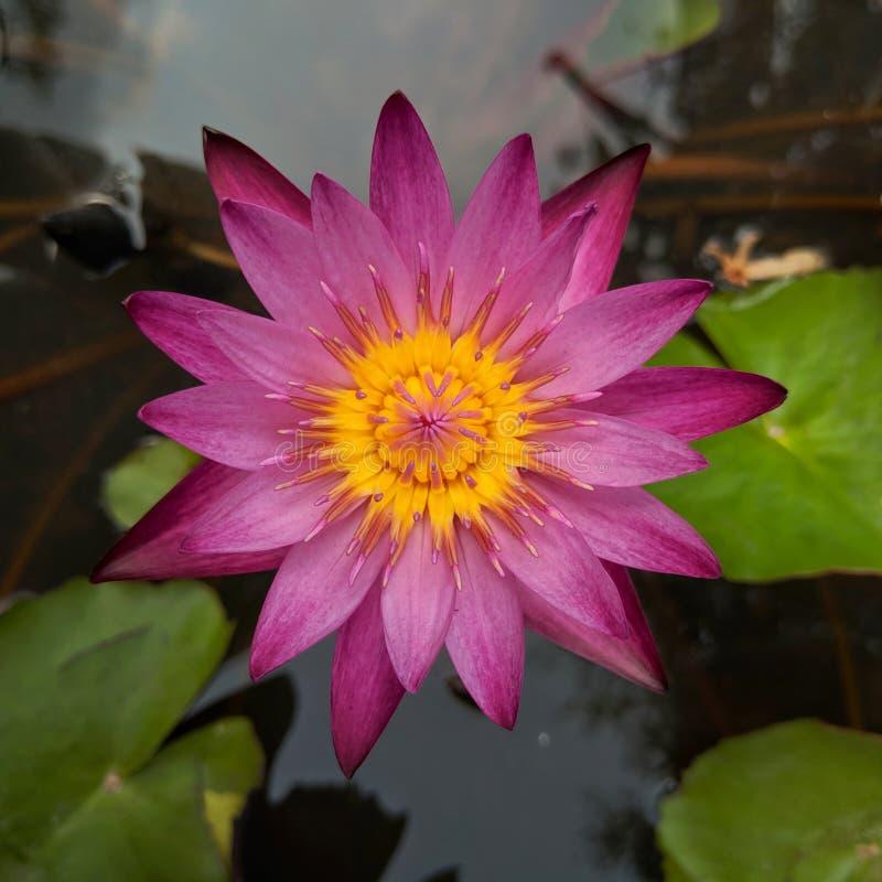 Een mooie donkere roze lotusbloembloem die over het water in lotusbloempot bloeien royalty-vrije stock foto