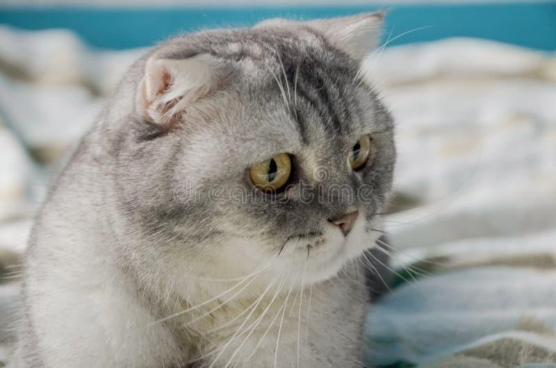 Een mooie, fluffy tabby kat ligt op een bed in een heldere kamer vlakbij het raam van het huis Afsluiten portret van een schattig royalty-vrije stock afbeelding