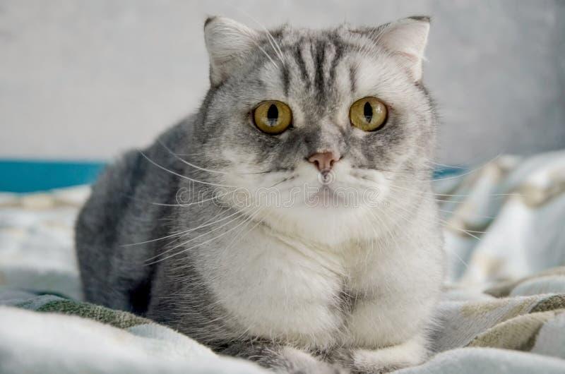 Een mooie, fluffy tabby kat ligt op een bed in een heldere kamer vlakbij het raam van het huis Afsluiten portret van een schattig stock foto's
