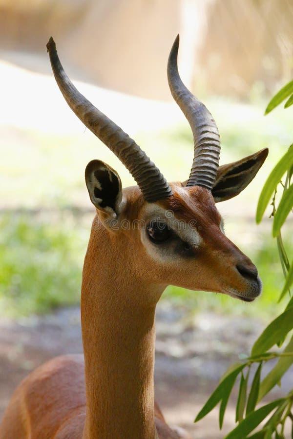 Een mooie gazelle royalty-vrije stock foto's