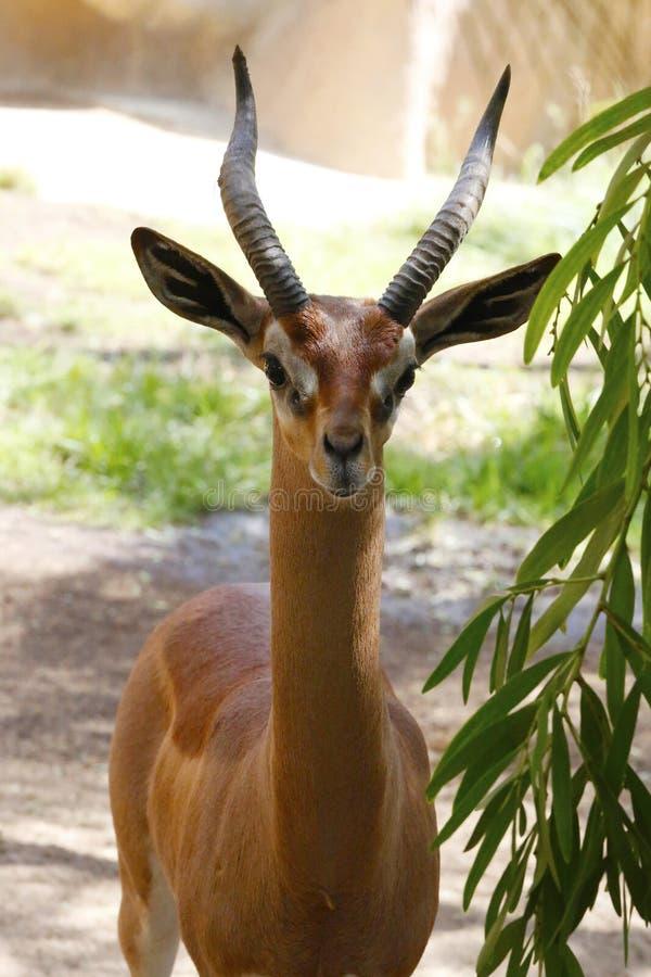 Een mooie gazelle stock foto's