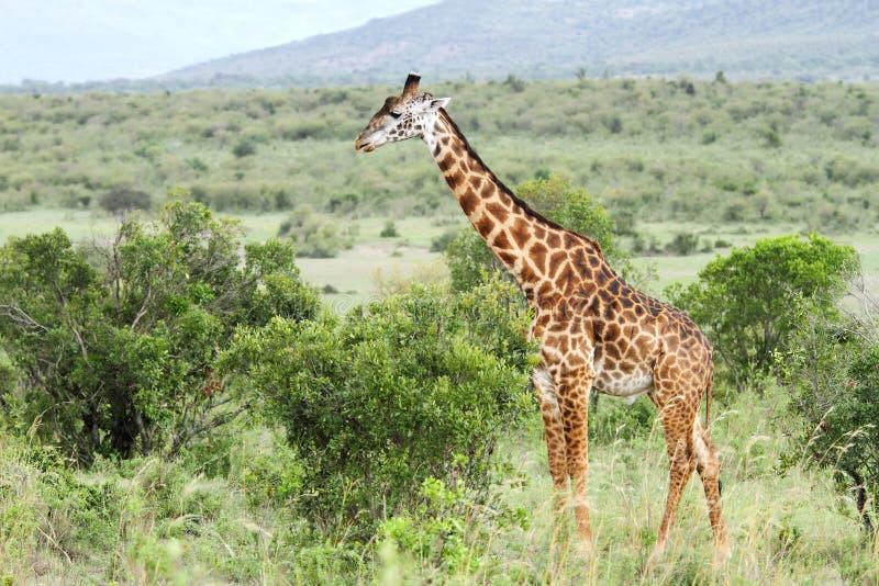 Een Gek Dier De Giraf: Een Mooie Giraf In De Groene Struiken Stock Foto