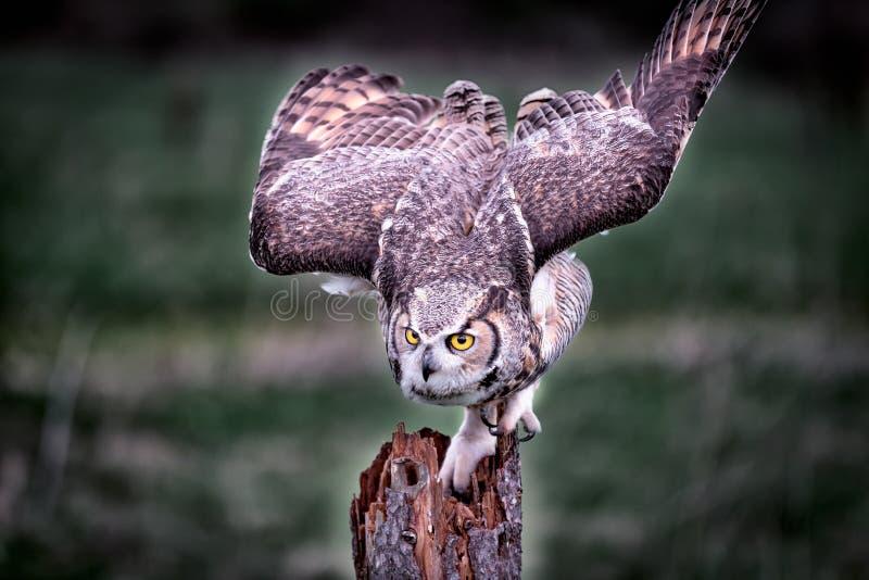 Een mooie grijze gehoornde uil stock afbeeldingen