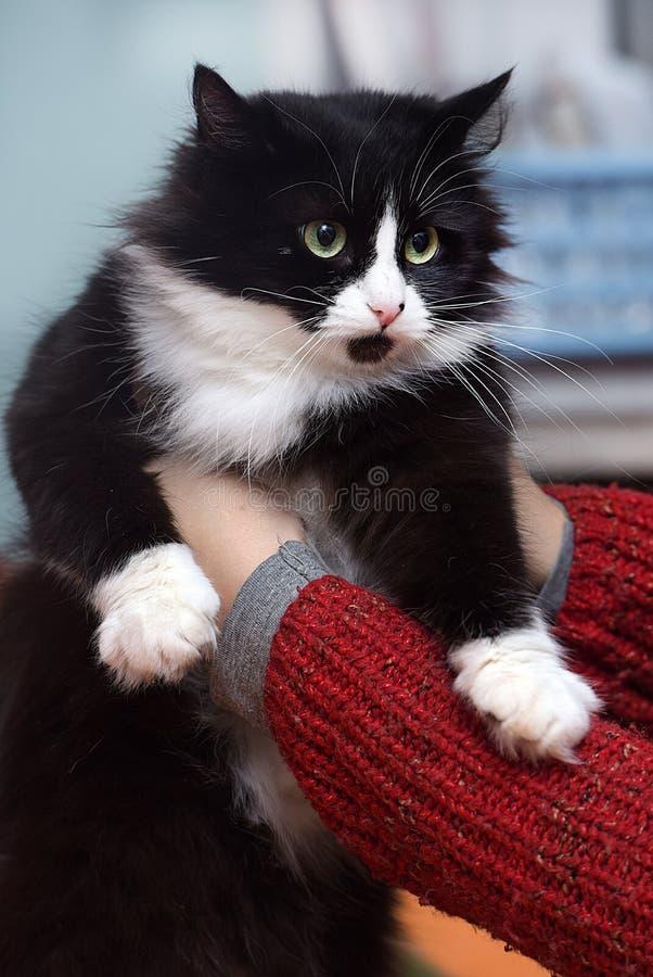 Een mooie groen-eyed pluizige zwart-witte kat stock foto