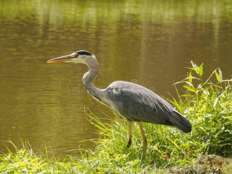 Een mooie grote reigervogel op de kanaalbank in groen gras op een heldere zonnige dag in de Nederlandse stad van Vlaardingen Rott stock foto's