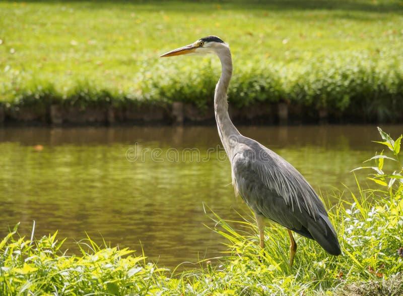 Een mooie grote reigervogel op de kanaalbank in groen gras op een heldere zonnige dag in de Nederlandse stad van Vlaardingen Rott stock afbeeldingen