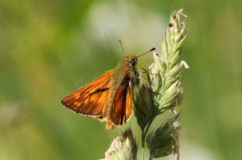 Een mooie Grote sylvanus die van Ochlodes van de Kapiteinsvlinder op gras neerstrijken royalty-vrije stock foto's