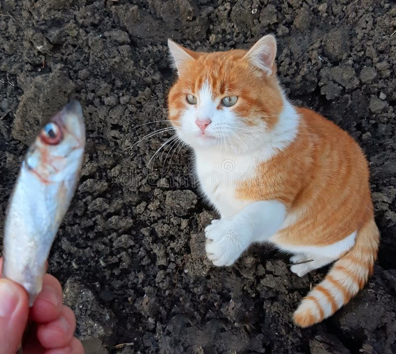 Een mooie kat neemt mijn vissen van mijn hand stock fotografie