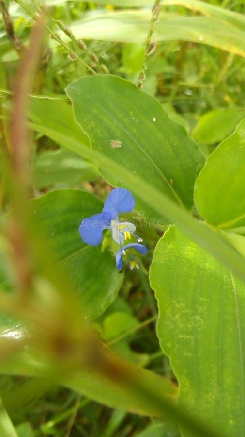 een mooie kleine blauwe bloem stock afbeelding
