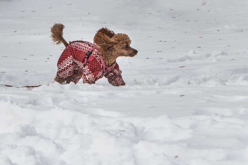 Een mooie kleine rode Miniatuurpoedelhond in het rood met witte druk jumpsuit en met roze uitrusting is in witte sneeuw in royalty-vrije stock fotografie