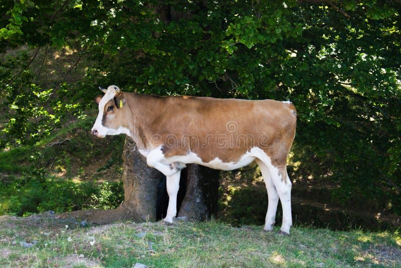 Een mooie koe met een opgeheven been, die in een bos, in de schaduw van een boom, op een de zomerdag zitten stock foto's