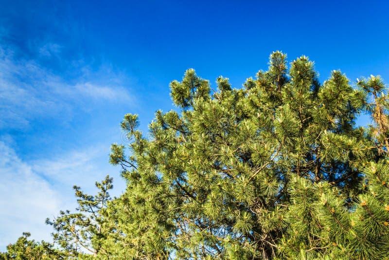 Een mooie kroon van naaldboom tegen de blauwe hemel backgr royalty-vrije stock afbeelding