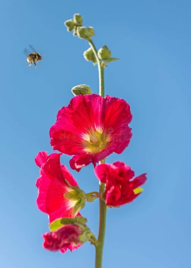 Een mooie lange bloem van de pink rode die stokroos van onderaan hemel van de agains de blauwe zomer wordt gezien Stuntel bij vli stock afbeeldingen