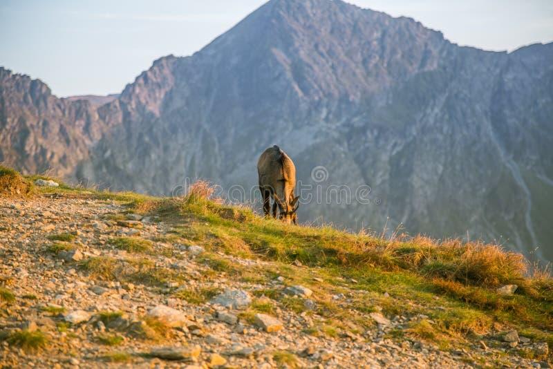 Een mooie, nieuwsgierige wilde gems die op de hellingen van Tatra-bergen weiden Wild dier in berglandschap royalty-vrije stock foto
