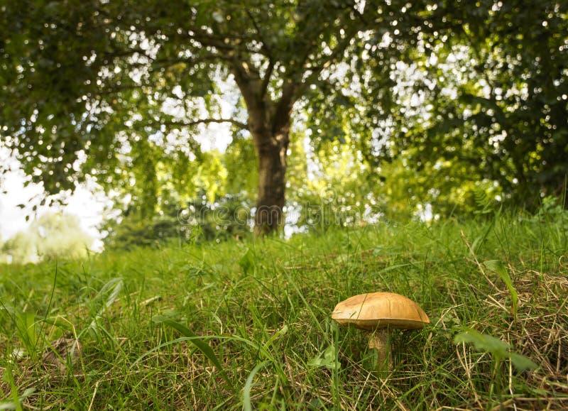 Een mooie paddestoel onder een groene boom in een Nederlands bos stock foto